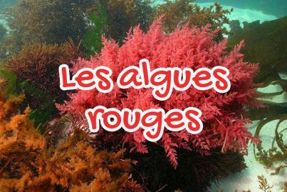 L'algue rouge