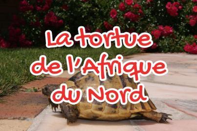 La tortue de l'Afrique du Nord